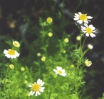 Chamomile Flowers powder - per ounce - Product Image
