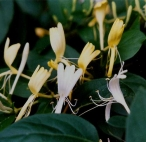 Honeysuckle Flowers whole - per ounce - Product Image