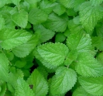 Lemon Balm Leaf cut and sifted - per ounce - Product Image