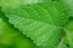 Lemon Balm Leaf powder - per ounce - Product Image
