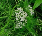 Yarrow Flowers cut and sifted - per ounce - Product Image
