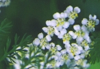 Yarrow Flowers powder - per ounce - Product Image