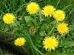 Dandelion Leaf powder - per ounce - Product Image