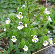 Eyebright Leaf cut and sifted - per ounce - Product Image