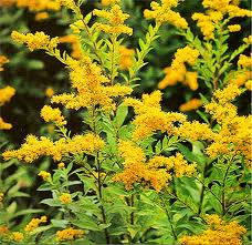 Goldenrod powder - per ounce - Product Image