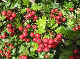 Hawthorn Berry powder - per ounce - Product Image